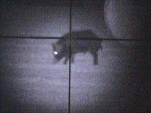 Hog seen at night using Digital Crosshairs 1000 night vision clip-on