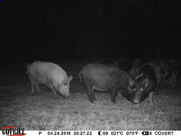 Hog Hunting at Owen Farm Hunting Preserve